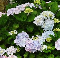 Hydrangea macrophylla 'Alaska' moederplant in border