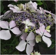 Hydrangea_ macrophylla_'Beaute_Vendomoise'_large _flower_closeup_vnn
